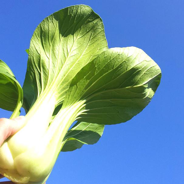 チンゲン菜 1P(200g)[有]