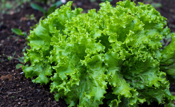 <span>有機栽培 グリーンリーフ</span>美味しさに誰もが幸せになってしまう まさに愛のCupid Vegetable