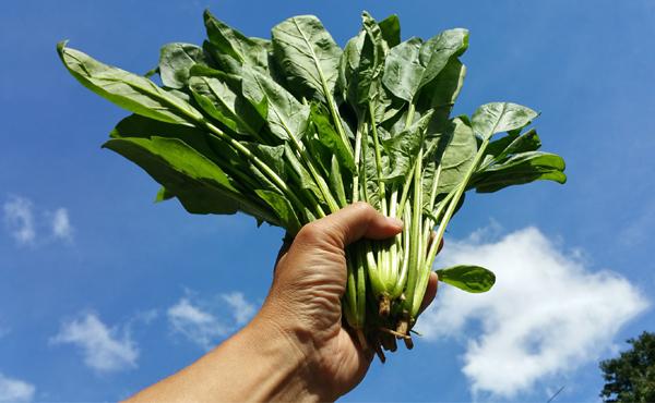 <span>無農薬 サラダほうれん草</span>大地にドンと根を張り元気いっぱい アクなし・そのままOK