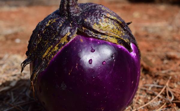 <span>ヴィオレッタ・ディ・フィレンツェ</span>「世界で一番おいしいナス」と絶賛されるイタリア産まれのクリーミーナス