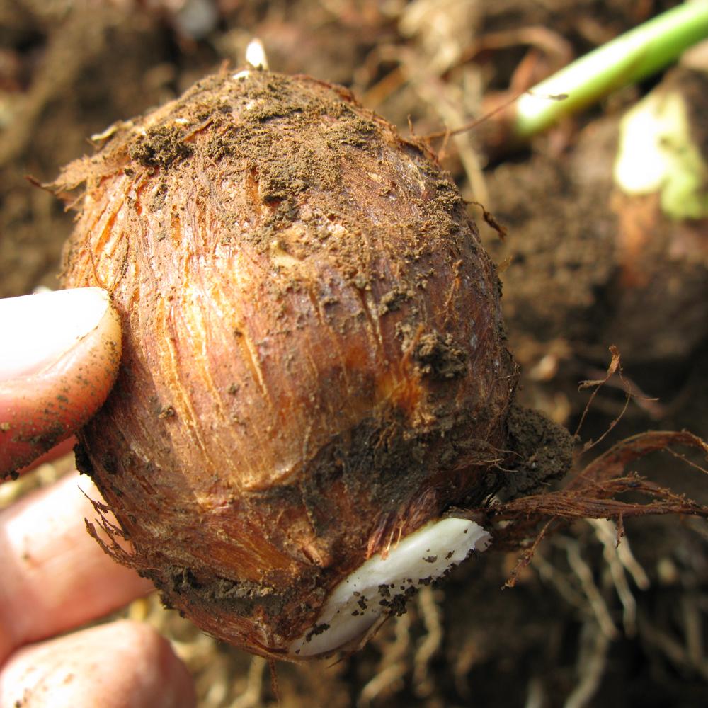 里芋《極》5kg [有]