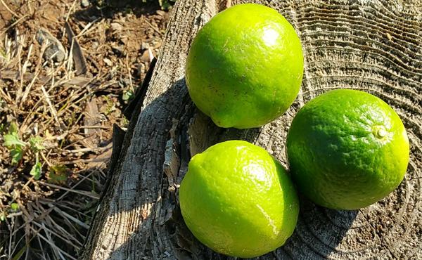 <span>マイヤー グリーンレモン</span>吉田さんのみずみずしい「甘いレモン」は天にも昇る爽やかさ