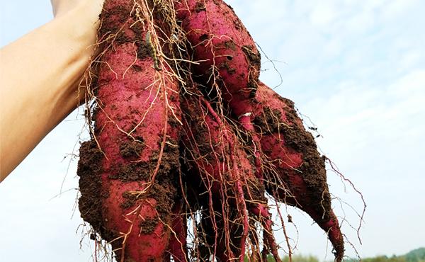 <span>無農薬さつまいも 紅はるか</span>じっくり火入れで激甘&超濃厚&ウルトラホクホクに